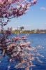 die Kirschblüte an der Alster